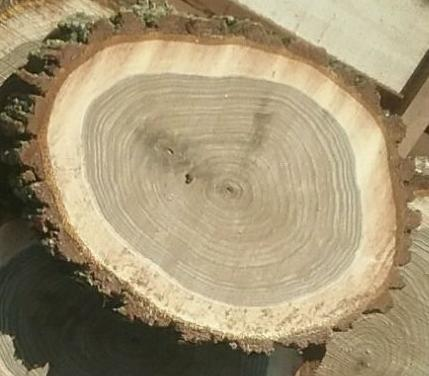 Billede viser valdnød med bark og splinttræ